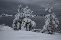 3 snødekte trær