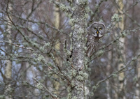 Antatt, Natur - Skogens grå