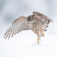 Antatt - Digital Natur -  Hønsehauk hopp