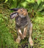 Søkkvåt Hare rister seg