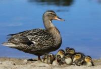 Antatt - Andemor med unger