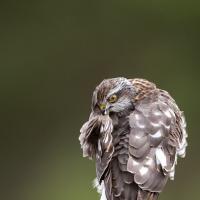 Antatt - Digital Natur - Fjærstell for spurvehauken