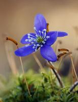 Antatt, natur - Blåveisblå på skogsbunden