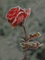Antatt - Frostrose