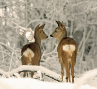 Antatt - Stillhet i vinterskogen
