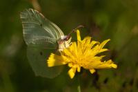 En ny generasjon sitronsommerfugl.