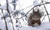 Ekorn i vinterlandskap