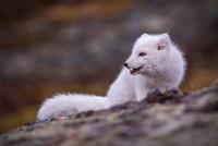 Antatt - Nordisk Mesterskap 2020 - Little Fox