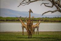 Harem of the savanna