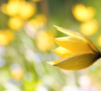 Vår gul vill tulipan