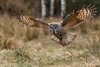 Antatt, Digital Natur - Great Grey Owl