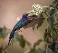 Svalestjertkollibri i lufta