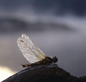 Spretten Libelle