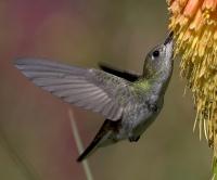 Hederlig omtale: Svirrende kolibri