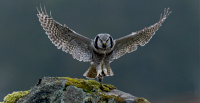 Antatt - 15th FIAP Clubs`s World Cup 2020 - Northern Hawk Owl with mouse