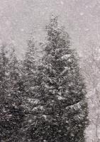 Grantrær i snøvær
