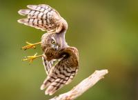 HO, Natur - Spurvehauk