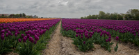 Antatt - Tulipan linjer