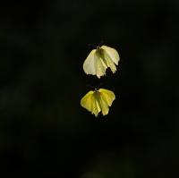 Sitronsommerfuglenes kjærlighetsdans