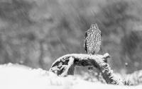 Antatt - Digital Monochrome - Hønsehauk i snødrevet.