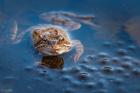 Antatt, Digital Natur - Frog and eggs