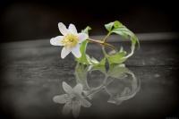 """A - Vårens flotte""""lille"""" ballerina."""