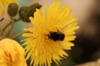 På jakt etter honning