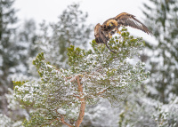 Sølv - Kongeørn i vinterskog