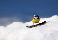 2. plass mars 2018 - Blåmeis på snowboard
