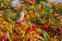 Antatt - Grønnfinken koser seg i nypebusken