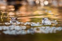 Gull - Eventyr i dammen 2