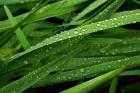 Hederlig omtale: Morgenregn i hagen