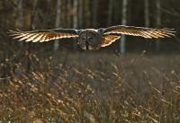 Antatt, natur - Golden flight