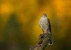 Antatt - Digital farge - Spurvehauk morgen