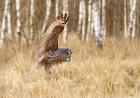 Lappugle på jakt. Årboka