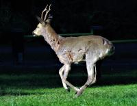 Løpende råbukk