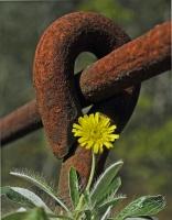 Hederlig omtale - Myk og sart-rusten og hard