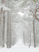 Furuer kledd i hvitt