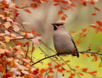 Waxwing in autumn colours