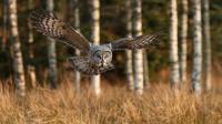 Antatt -  Nordisk Mesterskap 2020    - Great Grey Owl
