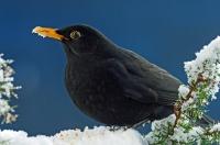 Hederlig omtale - ,Angrende Svarttrost i vinterskog-burde heller ha reist til syden,