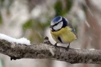 Antatt - Det snør i vinterskogen