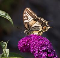 På sommerfuglbusken