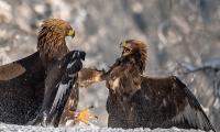 Antatt, natur - Ørner i kamp