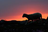Lam i solnedgang VII