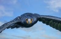 2. plass juli 2019 - Afrikan Black Eagle