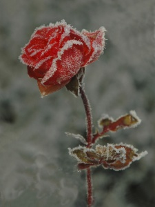 Rimet rose