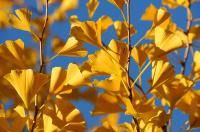 Høstens gull - Tempeltreet Ginkgo biloba