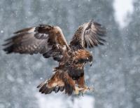 Antatt - Digital Natur -  Kongeørn inn for landing